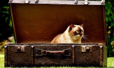 cat in case